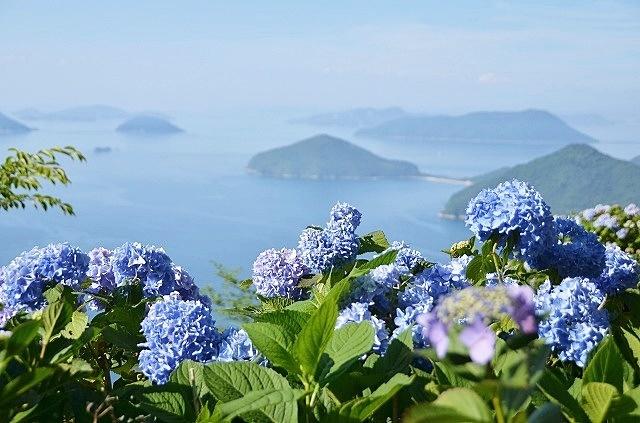 紫雲出山の紫陽花