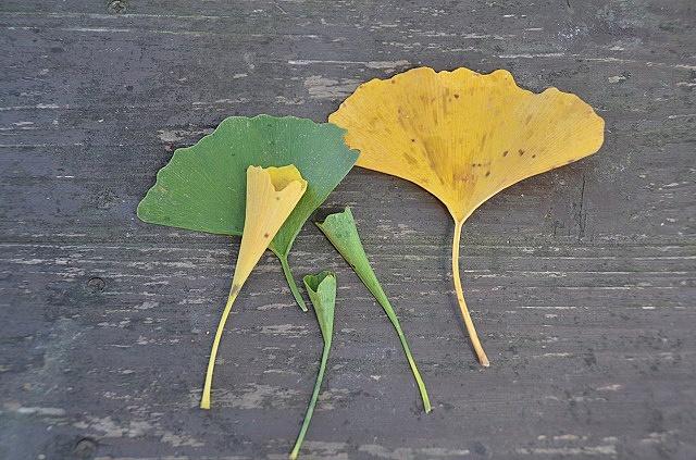 【珍種】常光寺のラッパイチョウが世にも珍しい件