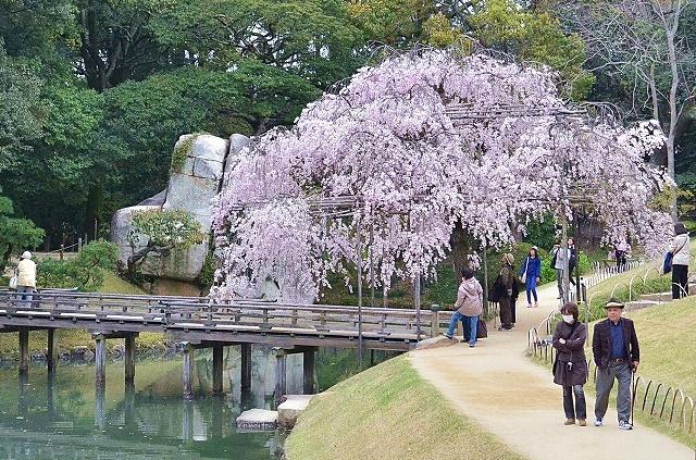 後楽園 しだれ桜