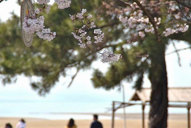 父母ヶ浜 桜