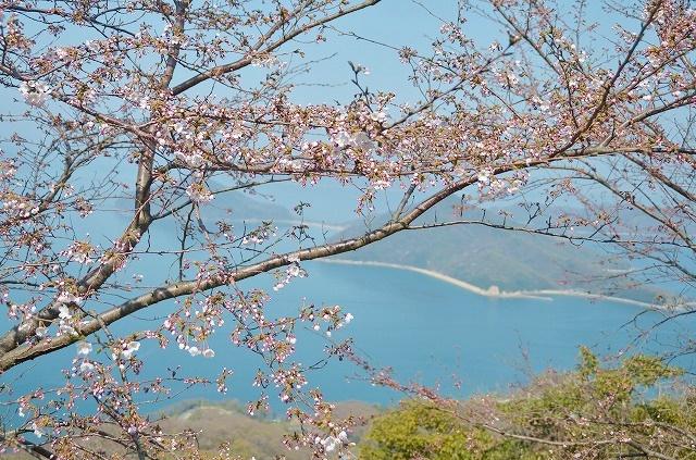 紫雲出山 桜
