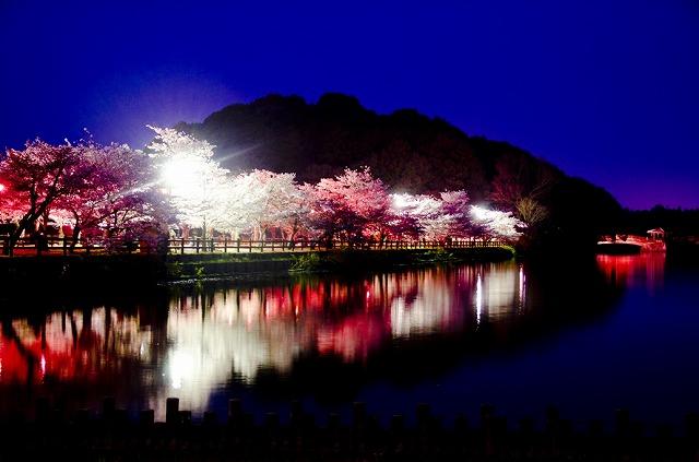 亀鶴公園 桜